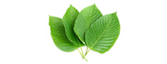 Fresh Kratom Leaves